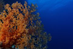 Soft coral and deep blue - Red Sea Royalty Free Stock Images