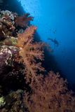 Soft Coral and Diver Royalty Free Stock Photos
