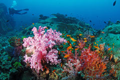 Soft coral with diver, Similan, Thailand. Stock Photo