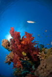 Soft coral with fish. Soft coral in front sun with fish under the water surface Stock Images