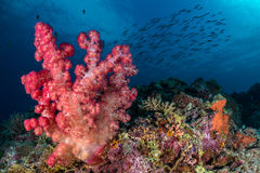 Soft coral reef. Soft coral scene with fish shoal in the background, Calanggaman, Malapascua, Philippines, November Stock Photo