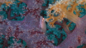 Soft Coral Ghostgoby stock video footage