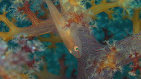 Soft Coral Ghostgoby stock video