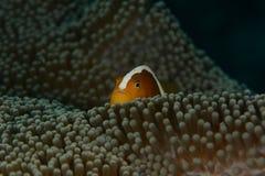 Soft Coral Glow. Family Nephtheidae, Anemone, Anemonefish Royalty Free Stock Photos