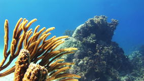 Soft coral growing on the reef in Bahamas stock video footage