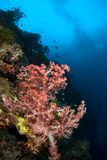 Soft coral Philippines. Soft coral and school of fishes. Philippines Royalty Free Stock Photos
