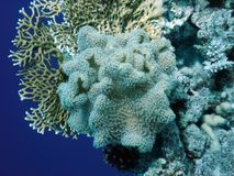 Soft coral polyp. With other corals Stock Photo
