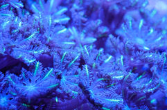 Soft coral polyp. Close up of clove soft coral polyp in blue and purple Stock Photography