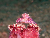 Soft coral porcelain crab with eggs, Raja Ampat, Indonesia stock photos
