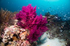 Soft coral. Purple soft coral in underwater Royalty Free Stock Photos