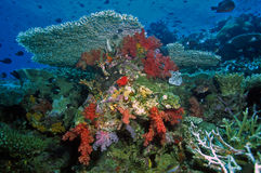 Soft coral reef scene Royalty Free Stock Photo