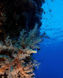 Soft coral on the reef wall - Red Sea Royalty Free Stock Photo