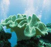 Soft coral - sarcophyton. Diving on the Maldives Stock Photo
