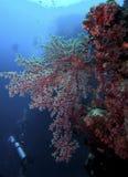 Soft Coral, Sipadan Island, Sabah Royalty Free Stock Photos