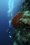 Soft Coral, Sipadan Island, Sabah Royalty Free Stock Images