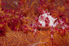 Soft Coral Spider Crab Stock Image