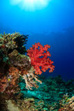 Soft coral and sunburst - Sipadan Barrier Reef Royalty Free Stock Photos