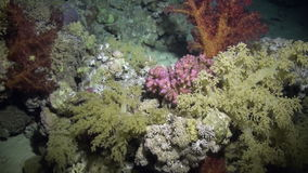 Soft coral underwater on background marine landscape in Red sea. stock video footage