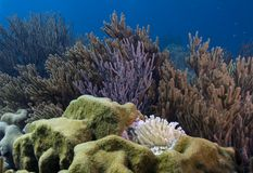 Soft corals and anemone. Underwater Bonaire - scene of soft corals Stock Photos