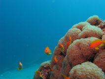 Soft corals and anthias. Uw royalty free stock photography