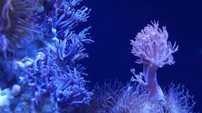 Soft corals in aquarium. Closeup Anthelia and Euphyllia corals in clean blue water. marine underwater life. Violet. Natural background, copy space selective stock video footage