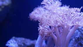 Soft corals in aquarium. Closeup anthelia and euphyllia corals in clean blue water. Marine underwater life. Violet. Natural background, copy space selective stock footage