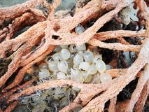 Soft corals  and the attached of babies cuttlefish eggs washed away on the sea shore still. stock images