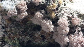 Soft corals on background underwater landscape in Red sea. Swimming in world of colorful beautiful world of reefs and algae. Inhabitants in search of food stock footage