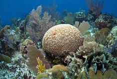 Soft corals and brain coral Stock Photography