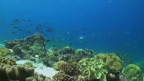 Soft corals on a coral reef. With a school of Unicornfish stock video footage