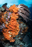 Soft Corals Growing on Beautiful Pacific Reef Stock Image