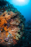 Soft Corals on Indonesian Reef Royalty Free Stock Images