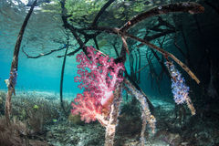 Soft Corals on Mangrove Roots Stock Image