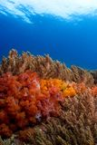 Soft corals Philippines stock images