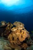 Soft corals Philippines. Soft coral on reef with view on the surface. Philippines Stock Photos