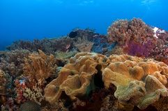 Soft corals Philippines. Soft coral on reef with view on the surface. Philippines Royalty Free Stock Photography