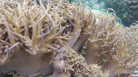 Soft corals in tropical sea. Soft corals in the tropical sea.tropical underwater world.Diving and snorkeling in the tropical sea.Travel concept,Adventure concept stock video footage