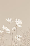 Soft cosmos flowers Royalty Free Stock Photo
