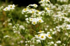 Soft Daisy Background Stock Photo