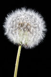 Soft dandelion Royalty Free Stock Photo