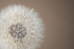 Soft dandelion Royalty Free Stock Image