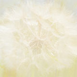Soft dandelion background Royalty Free Stock Image