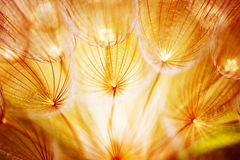 Soft dandelion flower. Extreme closeup, abstract spring nature background Stock Photos