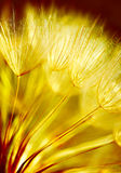 Soft dandelion flower background Royalty Free Stock Photo