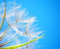 Soft dandelion flowers stock photo