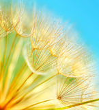 Soft dandelion flowers Stock Image
