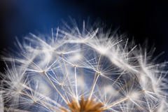 Soft dandelion seeds against a blue and black background. Rounded head of soft-textured dandelion seeds Royalty Free Stock Photography