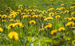 Soft Dandelions. Dandelions on the meadow. Foto with soft efect Royalty Free Stock Photo