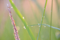 Soft defocused Fresh green grass and grass flower with water dro Royalty Free Stock Image
