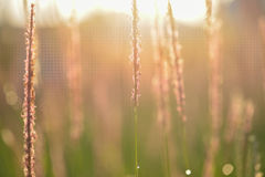 Soft defocused Fresh green grass and grass flower with water dro Stock Photo